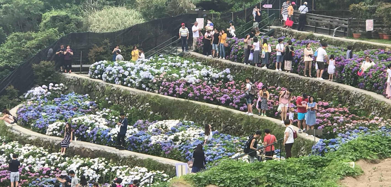 Hydrangea Blossom Season Begin in YangMingShan 2018