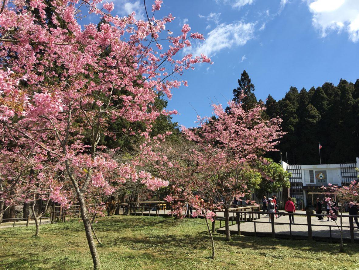 2019 Alishan Cherry Blossom